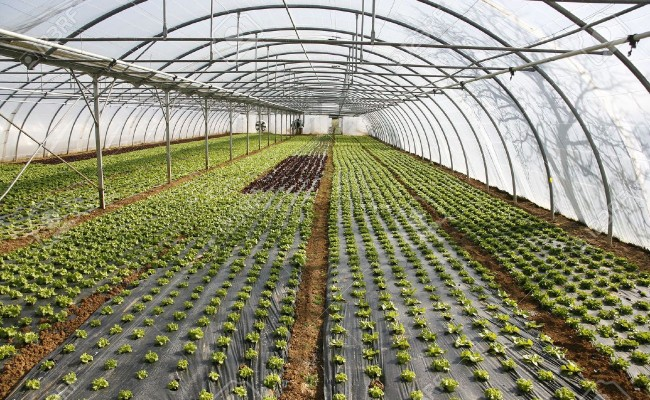 4556734-Lettuce-growing-in-lines-in-plastic-green-house-Stock-Photo-greenhouse-plastic-hydroponic